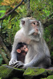 Balinese-Affe mit Kind Stockbilder