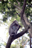 Balinese-Affe mit Sonnenbrille Lizenzfreies Stockbild