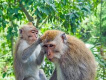 Balinese apen met lange staart Royalty-vrije Stock Afbeeldingen
