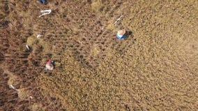 Balinese Bedrijfsmedewerkers die Rijstoren snijden bij het Gebied 4K antenne: Rijst het Oogsten Procédé Traditionele Aziatische L stock video