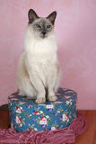 Balinese Blue Point. Blue Point Balinese Cat on Box stock photography