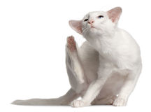 Balinese cat, 1 year old, scratching. In front of white background Stock Photography