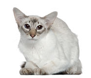 Balinese cat, 2 years old Royalty Free Stock Photo