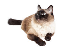 Balinese cat Royalty Free Stock Photos