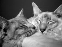 Balinese cats sleeping royalty free stock photo