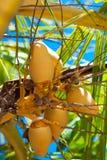 Balinese coconut Royalty Free Stock Photos