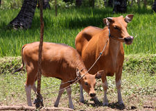 Balinese Cows. Balinese cow and calf, tied to a stake, with a rice field in the background stock images