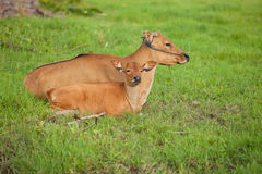 Balinese cows Royalty Free Stock Photo