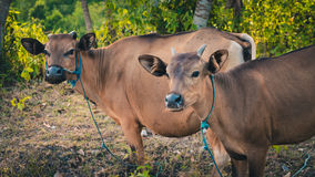 Balinese domestic cattle, Nusa Penida, Bali, Indonesia. Balinese domestic cattle, Nusa Penida, Bali Indonesia Royalty Free Stock Image