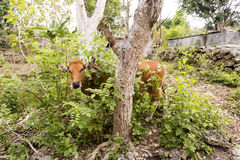 Balinese domestic cattle,  Nusa Penida-Bali, Indonesia Royalty Free Stock Photography