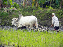 Balinese Farmer Royalty Free Stock Images