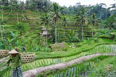 Balinese farmer with a basket working on green rice terraces UBUD, Indonesia, Bali, 11.08.2018 royalty free stock photo