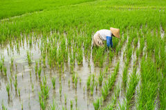 Balinese farmer working in a green rice field. Agriculture. Royalty Free Stock Image