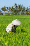 Balinese farmer working on rice field in Bali. Indonesia stock images