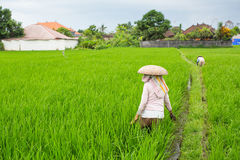Balinese farmers working in a green rice field. Agriculture. Royalty Free Stock Photo