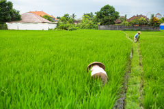 Balinese farmers working in a green rice field. Agriculture. Stock Photography