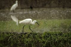 White Herons Hunting in the Ubud, Bali Rice Fields for Eels Stock Photos