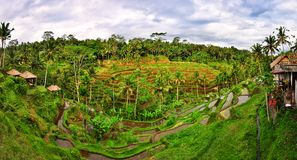 Balinese green rice field terrace panorama Stock Photography
