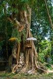 Balinese holy tree Stock Photos
