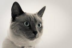 Balinese-Katze Stockfoto