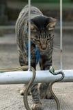 Balinese-Katze u. Schlange Stockbilder