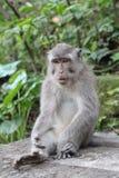 Balinese-langschwänziger Affe Macaca Fascicularis Lizenzfreie Stockfotos