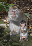 Balinese Long-Tailed Monkey Royalty Free Stock Photos