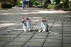 Balinese long-tailed monkey at the Monkey Forest Sanctuary, Ubud Royalty Free Stock Photo