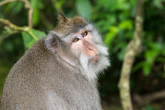 Balinese Long-Tailed Monkey Royalty Free Stock Photography