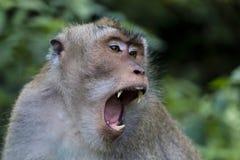 Balinese long-tailed monkey at Monkey Temple, Ubud. Yawning with long canine teeth visible Stock Photos