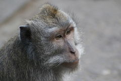 Balinese long-tailed monkey stock image