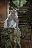 Balinese Long-Tailed Monkey Stock Photography