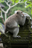 Balinese Long-Tailed Monkey Stock Photos