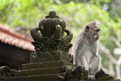 Balinese Long-Tailed Monkey Stock Images