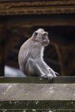 Balinese Long-Tailed Monkey Royalty Free Stock Image