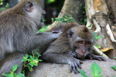 The balinese macaques Royalty Free Stock Images