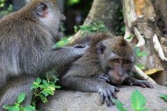 Balinese macaques Royalty-vrije Stock Afbeeldingen