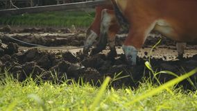 Balinese man plowing rice field with two banteng cows stock footage