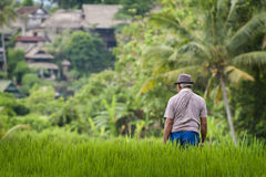 Balinese Man in the Rice Fields of Ubud Royalty Free Stock Photo