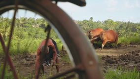 Balinese men plowing field with cows and planting rice. Slide stock video