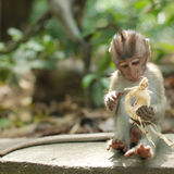 Balinese Monkey. Bali beach flowers hindu indonesia scenic temple tradition wildlife Stock Photos