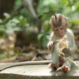 Balinese Monkey Stock Photos