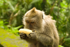 Balinese monkey with banana Royalty Free Stock Images