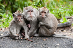 Balinese monkey family Royalty Free Stock Image