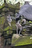 Balinese monkey forest temple. Macaque monkeys at the monkey forest temple in Ubud in Bali, Indonesia Stock Images