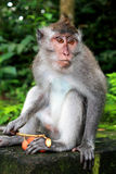 Balinese Monkey Royalty Free Stock Photography
