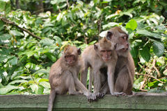 Balinese monkey with her baby Royalty Free Stock Photography