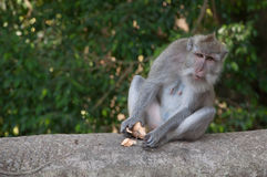 Balinese monkey sitting in sacred forest, Ubud, Bali, Indonesia. Stock Images