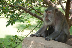 Balinese monkey sitting in sacred forest, Ubud, Bali, Indonesia. Royalty Free Stock Image