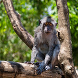 Balinese monkey on a tree Royalty Free Stock Photo